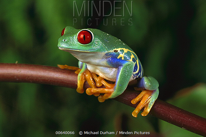 Red-eyed Tree Frog (Agalychnis callidryas), native to Central and South America  -  Michael Durham