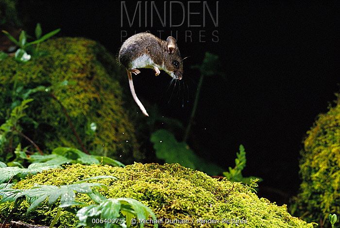 Deer Mouse (Peromyscus maniculatus) jumping as an evasive behavior, Forest Park, Oregon  -  Michael Durham