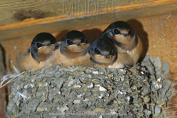 Barn Swallow (Hirundo rustica) chicks in nest, North America  -  Michael Durham