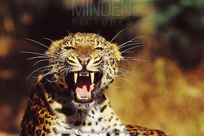 Amur Leopard (Panthera pardus orientalis) portrait, native to the Amur River Valley, Siberia, Manchuria and Korea  -  Michael Durham