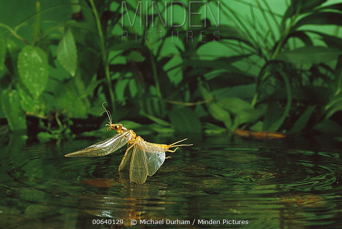 Golden Stonefly (Calineuria sp) female dipping into water to lay eggs, Metolius River, Oregon  -  Michael Durham