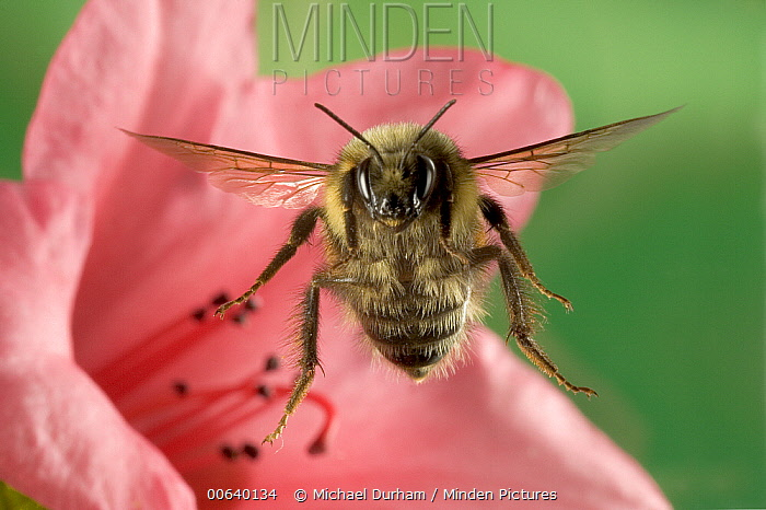 Bumblebee (Bombus huntii) flying toward the camera after collecting nectar from a Rhododendron flower, northeast Oregon  -  Michael Durham
