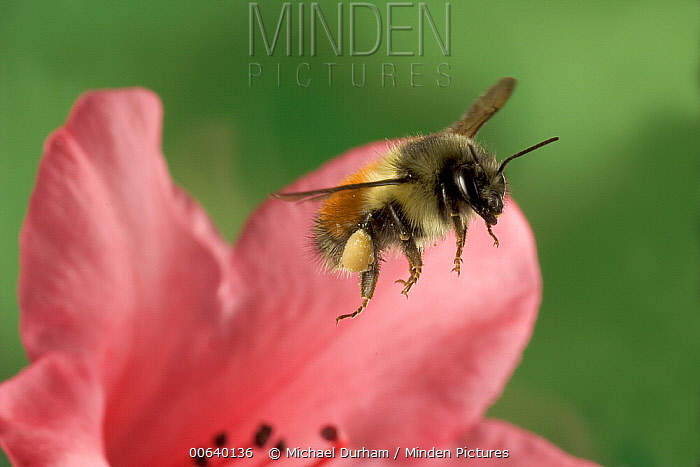 Bumblebee (Bombus huntii) with full pollen baskets, flies from a Rhododendron flower, northeast Oregon  -  Michael Durham