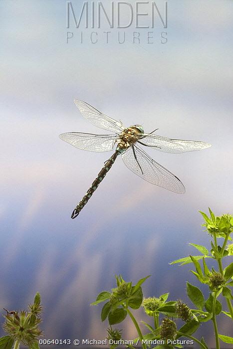 Southern Hawker Dragonfly (Aeshna cyanea) flying near a pond in temperate rainforest, coastal mountains, Oregon  -  Michael Durham