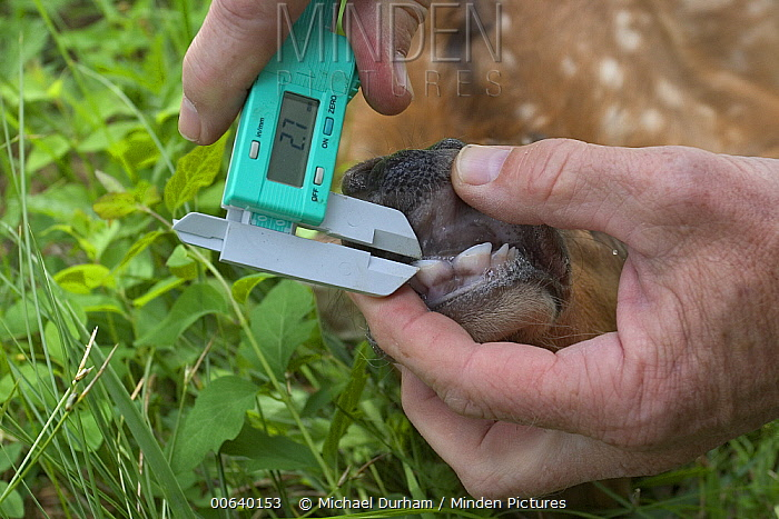 Oregon Division of Fish and Wildlife biologist Pat Matthews collects data on a newborn Elk (Cervus elaphus) calf in the Sled Springs Elk Study Area, the calf will be radio collared so that its movements and health may be studied  -  Michael Durham