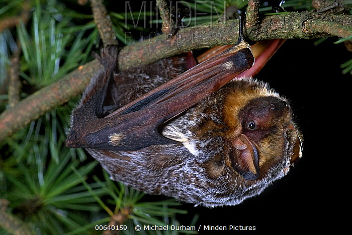 Hoary Bat (Lasiurus cinereus) climbing through a Douglas Fir (Pseudotsuga menziesii) branch, the Hoary Bat Will often roost in the branches of trees in more exposed areas than is typical for most bats, northern Oregon  -  Michael Durham