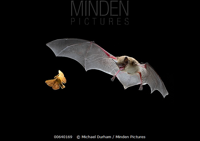 Little Brown Bat (Myotis lucifugus) pursues a forest moth, the mouth is open to allow the bat to echolocate when a moth is caught, it is scooped up in the wing and then delivered to the mouth, digital composite  -  Michael Durham