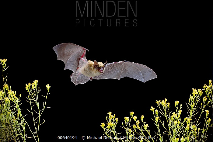 Western Pipistrelle (Pipistrellus hesperus) bat flying over desert scrub, near Pine Creek in the John Day Fossil Beds National Monument, Clarno Unit, Oregon, this is the smallest bat found north of Mexico  -  Michael Durham