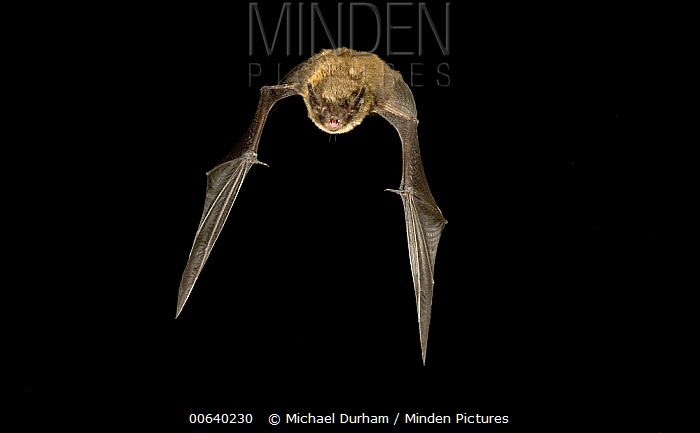 Little Brown Bat (Myotis lucifugus) flying at night in the Rogue River National Forest, Oregon  -  Michael Durham