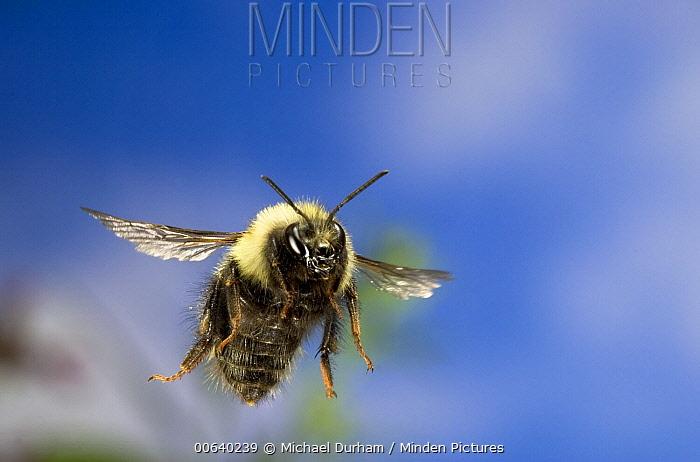 Bumblebee (Bombus sp) flying, Deschutes National Forest, Oregon  -  Michael Durham