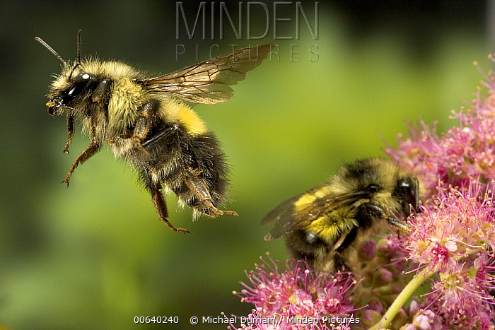Wandering Bumblebee (Bombus vagans) pair collecting nectar on flowers, the tattered wing on the flying adult indicates an older bee, near the Metolius River, Deschutes National Forest, Oregon  -  Michael Durham
