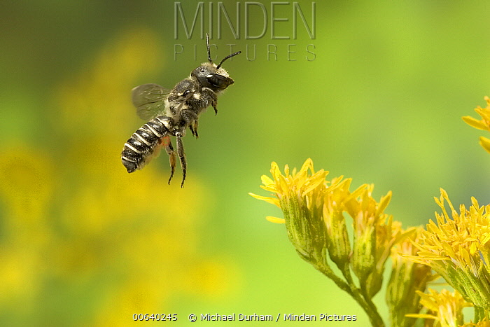 Leaf-cutting Bee (Megachile sp) departing a Goldenrod (Solidago sp) flower after collecting nectar and pollen, North America  -  Michael Durham