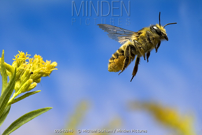 Leaf-cutting Bee (Megachile sp) departing a Goldenrod flower (Solidago sp) after collecting nectar and pollen, North America  -  Michael Durham