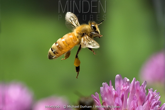 Honey Bee (Apis mellifera) worker collecting nectar from Red Clover (Trifolium pratense) flowers, note the pollen baskets on the legs, northwest Oregon  -  Michael Durham