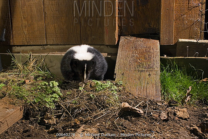 Striped Skunk (Mephitis mephitis) emerges from a burrow under a chicken coop on Sauvie Island, Oregon. Photographed at night with a remote camera  -  Michael Durham