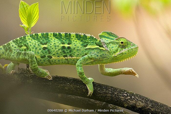 Veiled Chameleon (Chamaeleo calyptratus) a juvenile female hunting, native range is North Africa, Yemen to Saudi Arabia  -  Michael Durham
