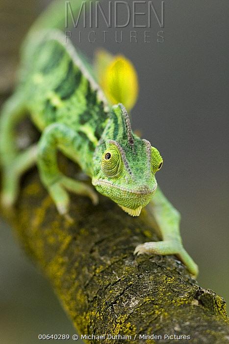 Veiled Chameleon (Chamaeleo calyptratus) a juvenile female hunting, native to North Africa, Yemen to Saudi Arabia  -  Michael Durham