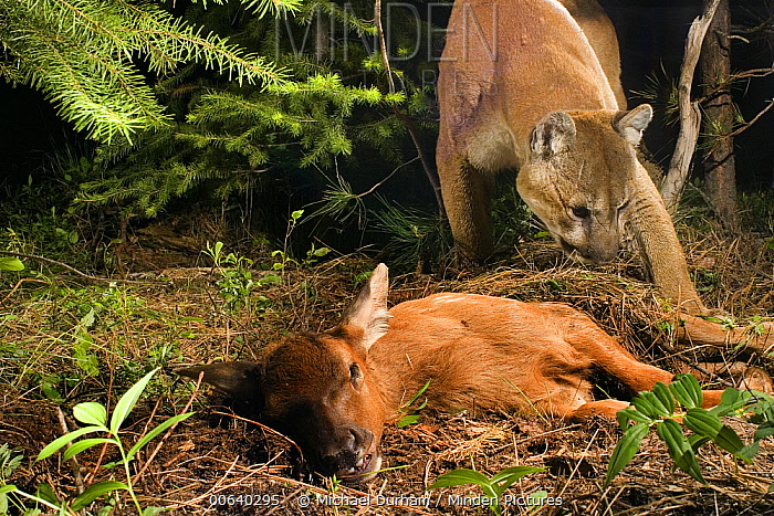Mountain Lion (Puma concolor) uncovers a young Elk (Cervus elephus nelsoni) calf that it killed and covered with debris earlier, Wallowa County, Oregon * tags and tracking collar on cat were digitally removed *  -  Michael Durham