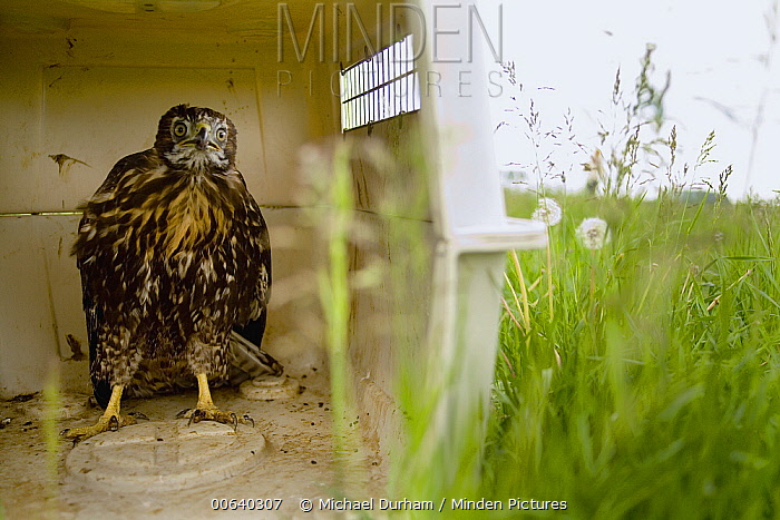 Red-tailed Hawk (Buteo jamaicensis) juvenile awaits release from a kennel carrier in a pasture near Joseph, Oregon  -  Michael Durham