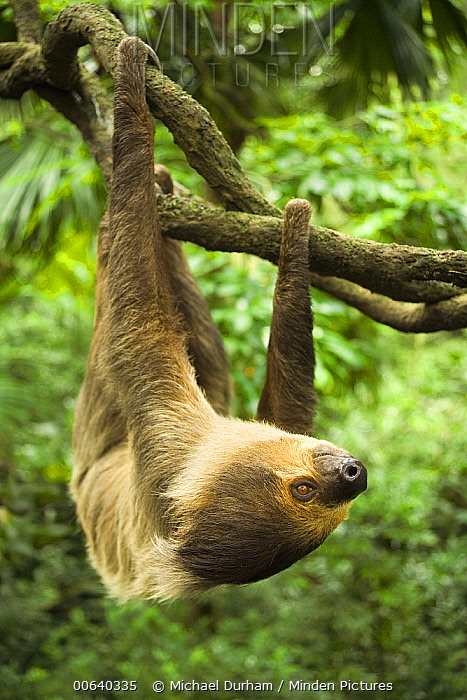 Southern Two-toed Sloth (Choloepus didactylus) hanging upside down from tree  -  Michael Durham