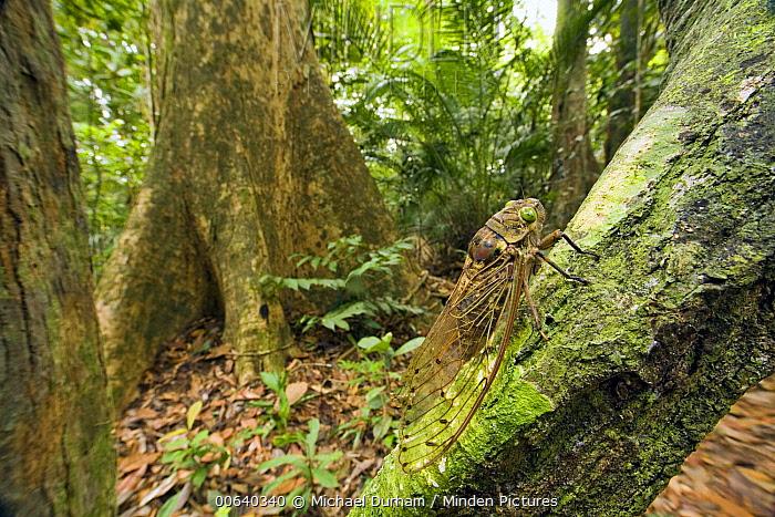 Giant Cicada (Pomponia imperatoria) in tropical rainforest, Endau-Rompin National Park, Malaysia  -  Michael Durham