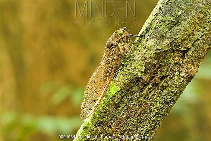 Giant Cicada (Pomponia imperatoria) in rainforest, Endau-Rompin National Park, Malaysia  -  Michael Durham