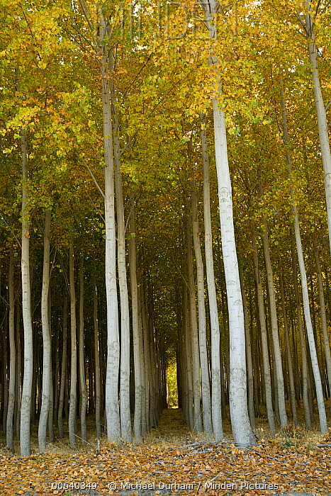 Cottonwood (Populus sp) hybrid tree farm grown for pulp and fiber, primarily for paper production, Washington  -  Michael Durham