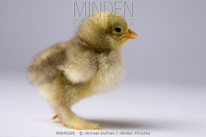 Domestic Chicken (Gallus domesticus), banty morph, about one week after hatching  -  Michael Durham