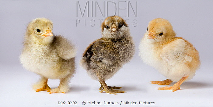 Domestic Chicken (Gallus domesticus) chicks showing genetic variation used to bring out traits that help poultry producers  -  Michael Durham