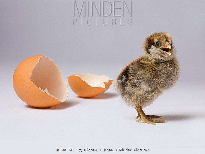 Domestic Chicken (Gallus domesticus) hatchling with egg shell  -  Michael Durham