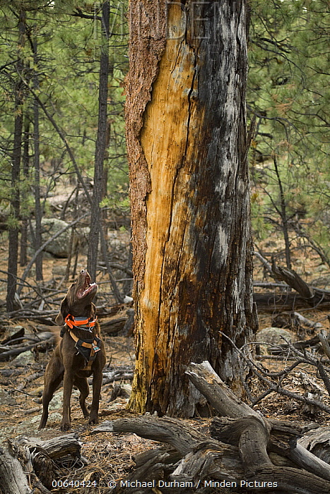 Chocolate Labrador Retriever (Canis familiaris) named CJ, indicating he has located a bat roosting site in old ponderosa snag, Coconino National Forest, Arizona  -  Michael Durham