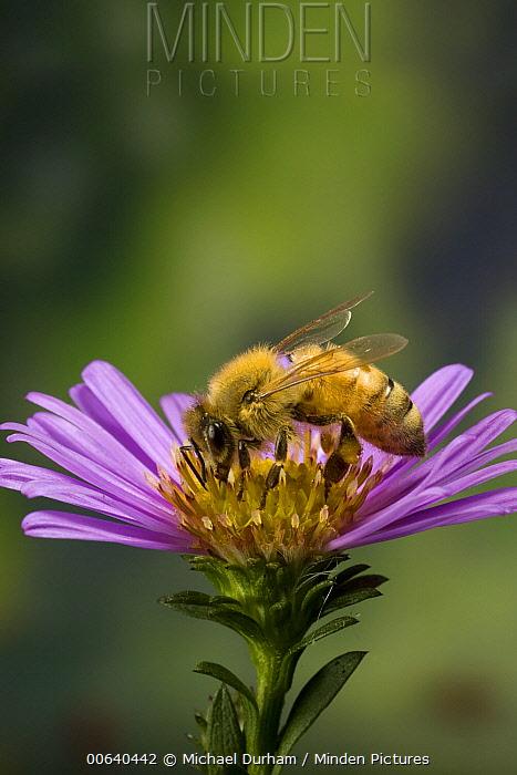 Honey Bee (Apis mellifera) with pollen baskets on garden flower  -  Michael Durham