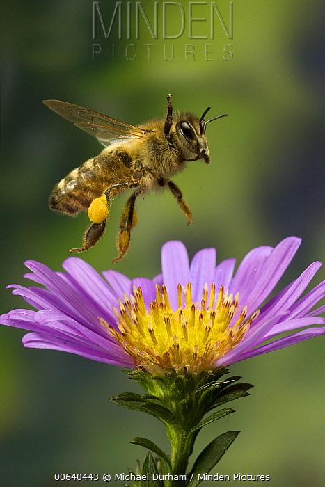Honey Bee (Apis mellifera) with pollen baskets taking flight from garden flower  -  Michael Durham