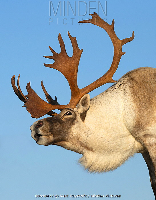 Woodland Caribou (Rangifer tarandus caribou) bull displaying, Newfoundland, Canada
