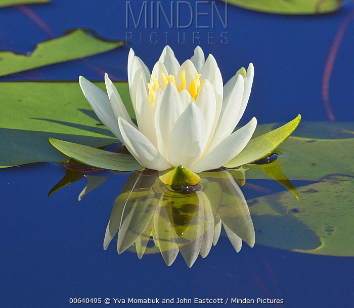 Fragrant Water Lily (Nymphaea odorata) flower, Onteora Lake, Catskill Mountains Park and Preserve, New York