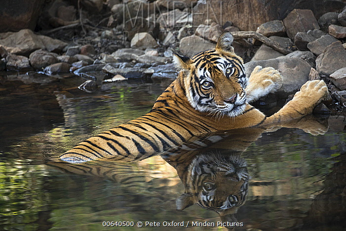 Bengal Tiger (Panthera tigris tigris) female cooling off in waterhole, Ranthambore National Park, India