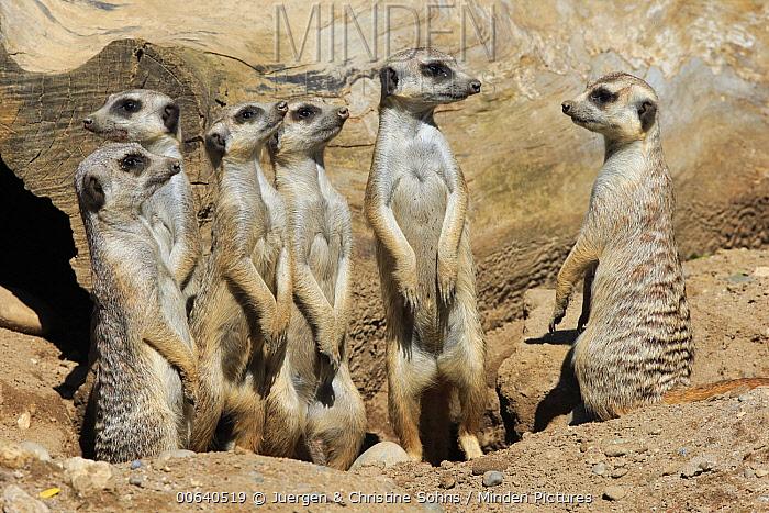 Meerkat (Suricata suricatta) group on alert, Basel, Switzerland