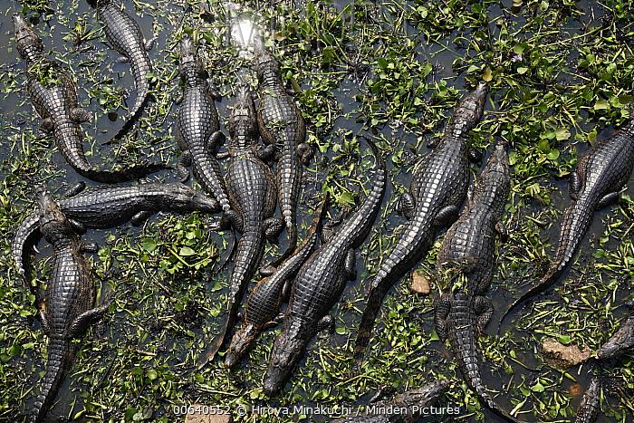Spectacled Caiman (Caiman crocodilus) group, Pantanal, Brazil