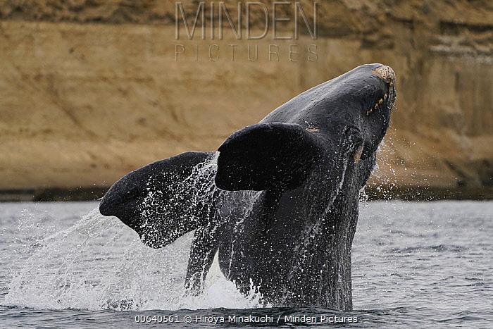 Southern Right Whale (Eubalaena australis) breaching, Argentina
