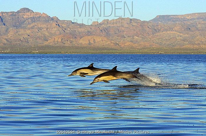 Long-beaked Common Dolphin (Delphinus capensis) trio jumping, Sea of Cortez, Mexico