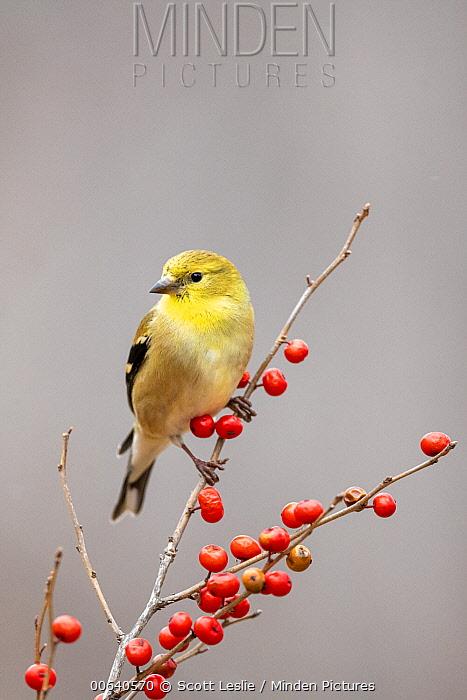 American Goldfinch (Carduelis tristis) in winter, Nova Scotia, Canada