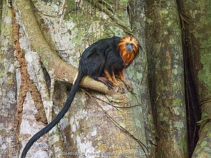 Golden-headed Lion Tamarin (Leontopithecus chrysomelas), Atlantic Forest, Bahia, Brazil