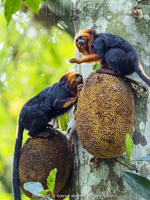 Golden-headed Lion Tamarin (Leontopithecus chrysomelas) pair feeding on fruit, Atlantic Forest, Bahia, Brazil