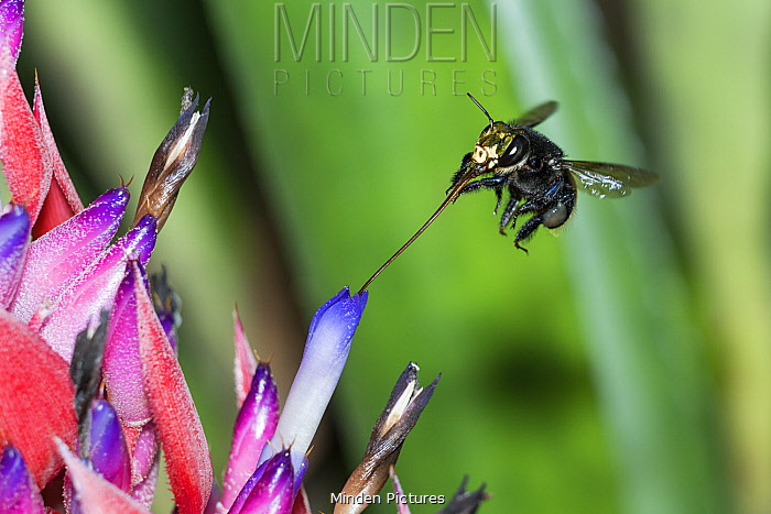 Orchid Bee (Euglossa intersecta) feeding on flower nectar with tongue extended, Amazon, Brazil