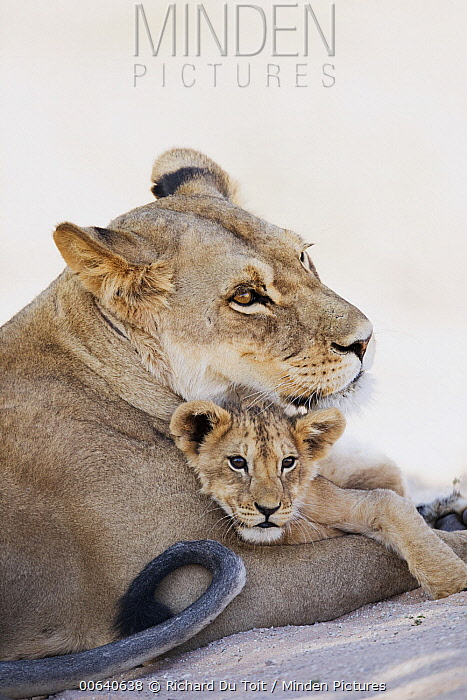 African Lion (Panthera leo) mother and cub, Kgalagadi Transfrontier Park, South Africa