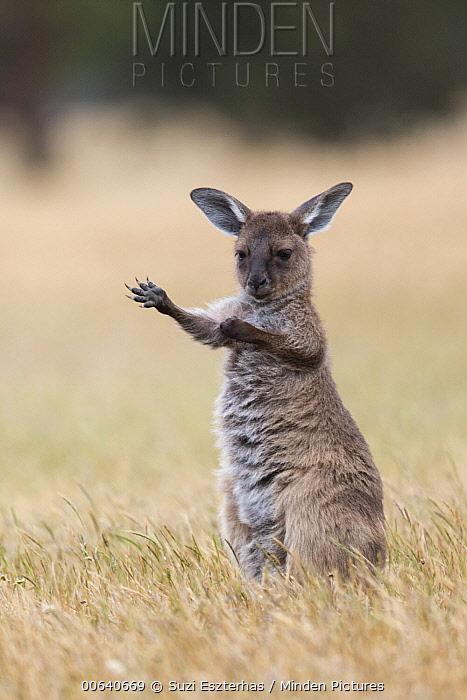 Western Grey Kangaroo (Macropus fuliginosus) nine-month-old joey scratching, Kangaroo Island, Australia