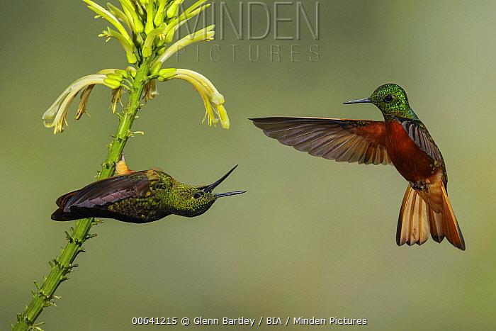 Chestnut-breasted Coronet (Boissonneaua matthewsii) hummingbirds pair fighting over flower nectar, Ecuador