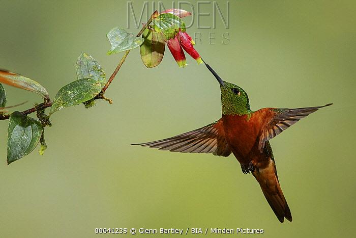 Chestnut-breasted Coronet (Boissonneaua matthewsii) hummingbird feeding on flower nectar, Ecuador