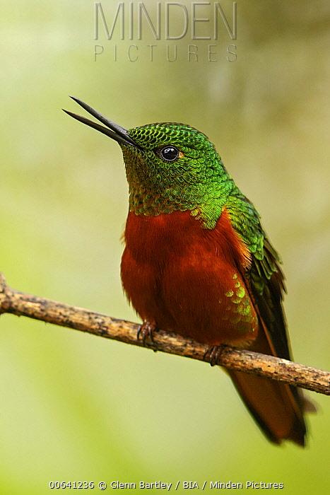 Chestnut-breasted Coronet (Boissonneaua matthewsii) hummingbird calling, Ecuador