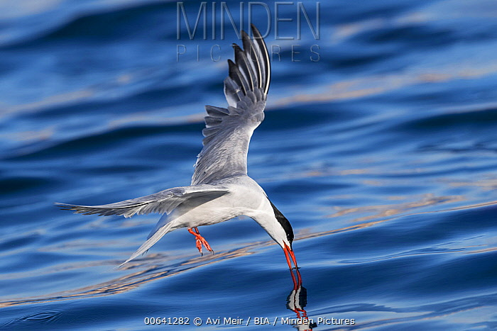Common Tern (Sterna hirundo) fishing, Eilat, Israel